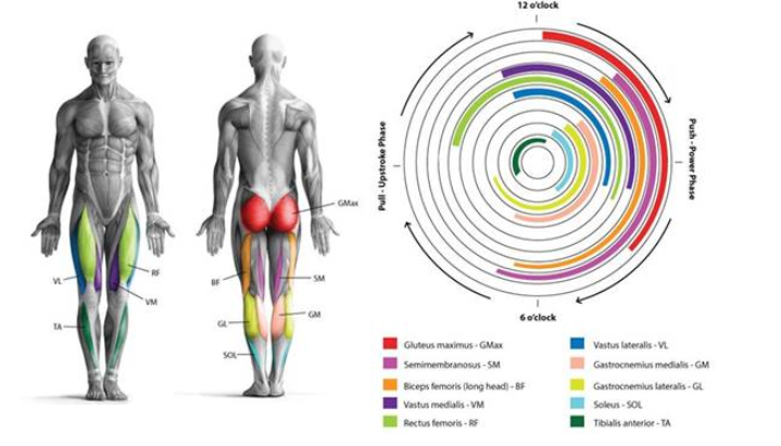 Teilnahme jedes Muskels an den verschiedenen Phasen oder Momenten des Tretens