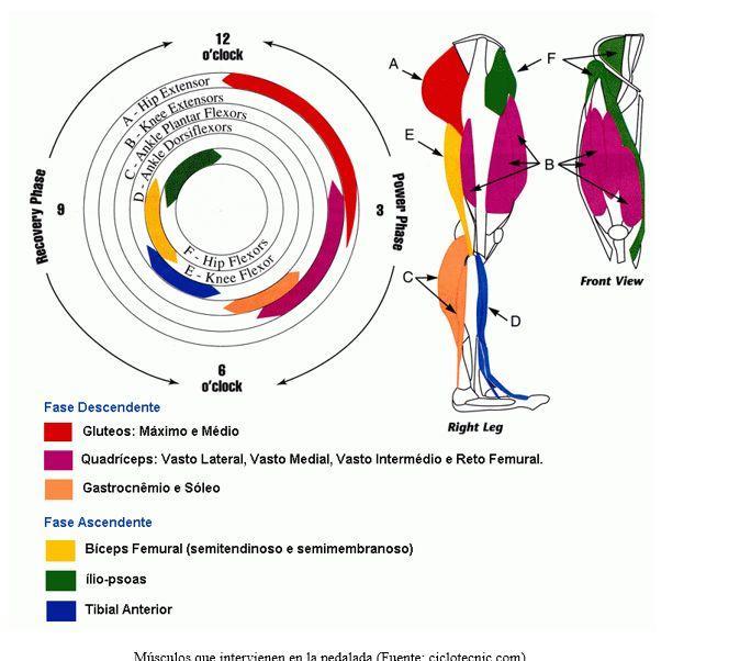 músculos involucrados en la pedalada
